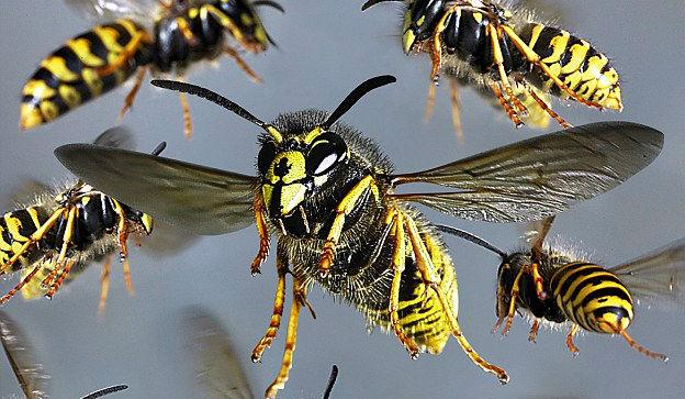 hvepse bekæmpelse